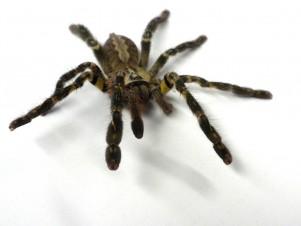 Tarantulas of the World   Tarantula Caresheets - Supplies