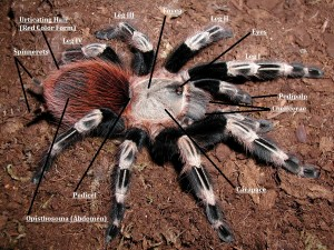 Dorsal Tarantula Anatomy